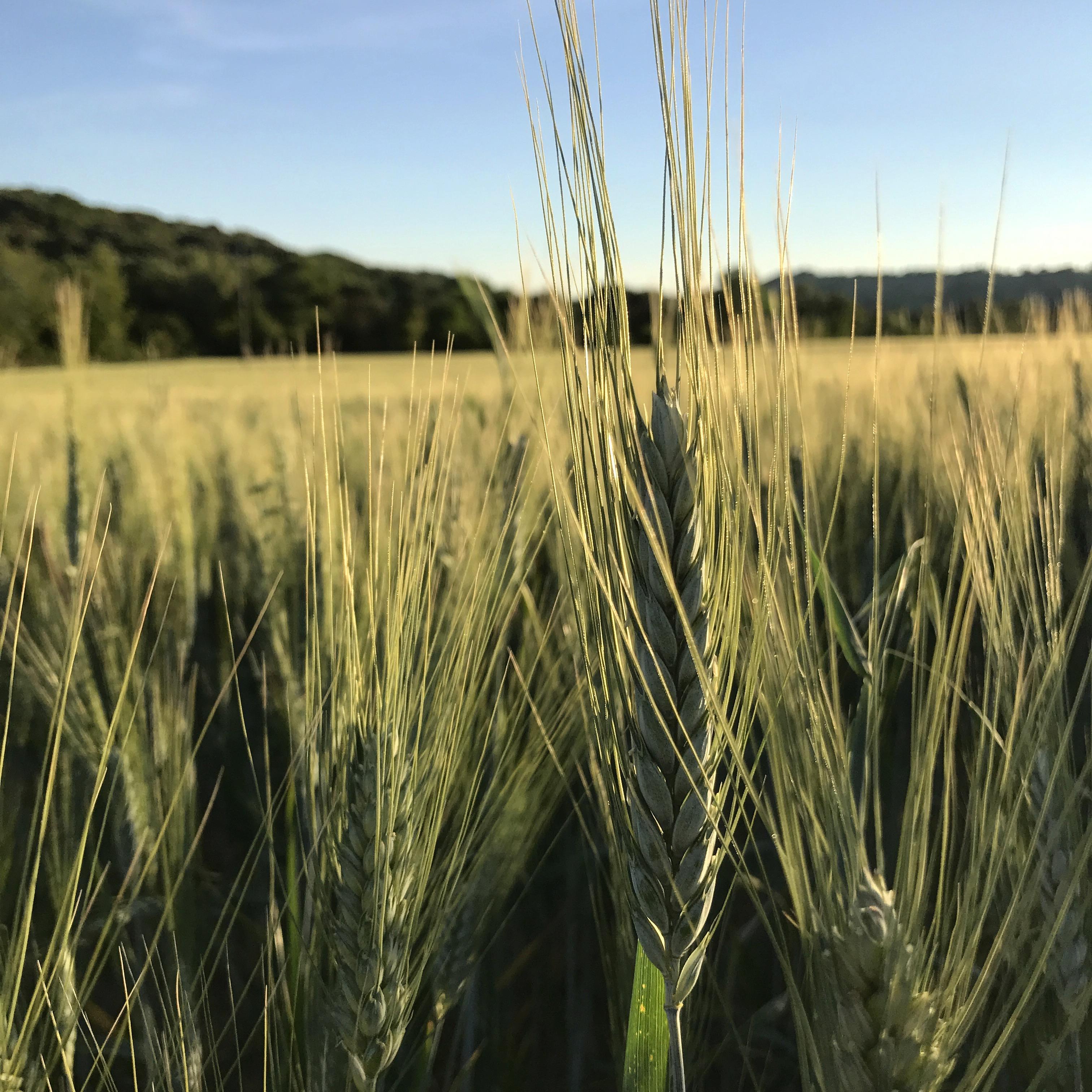 """🌾🌾 """"che ne sai tu di un campo di grano"""" 🌾🌾"""